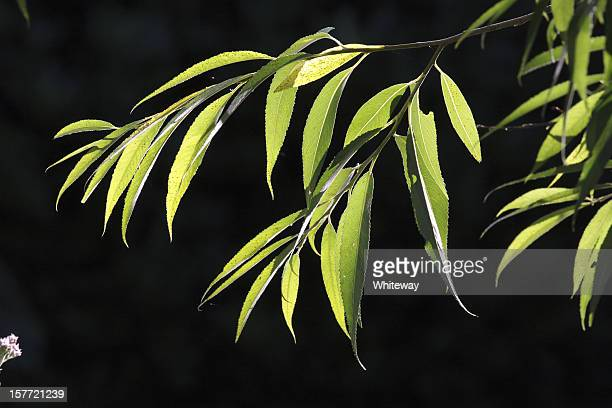 Backlit leaves of willow green