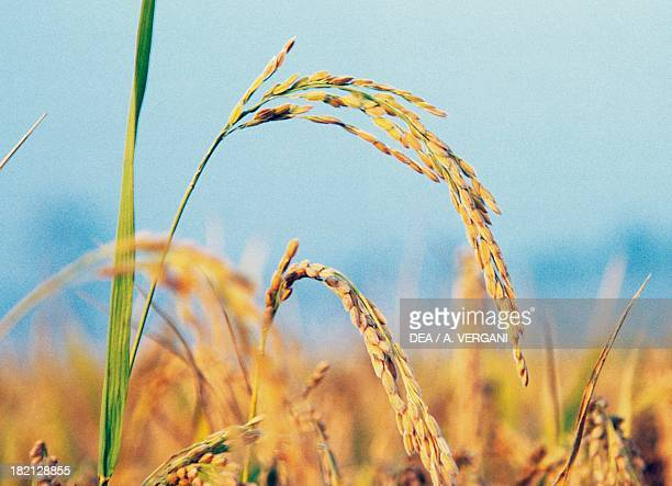 Ears of Asian Rice Gramineae Lombardy Italy