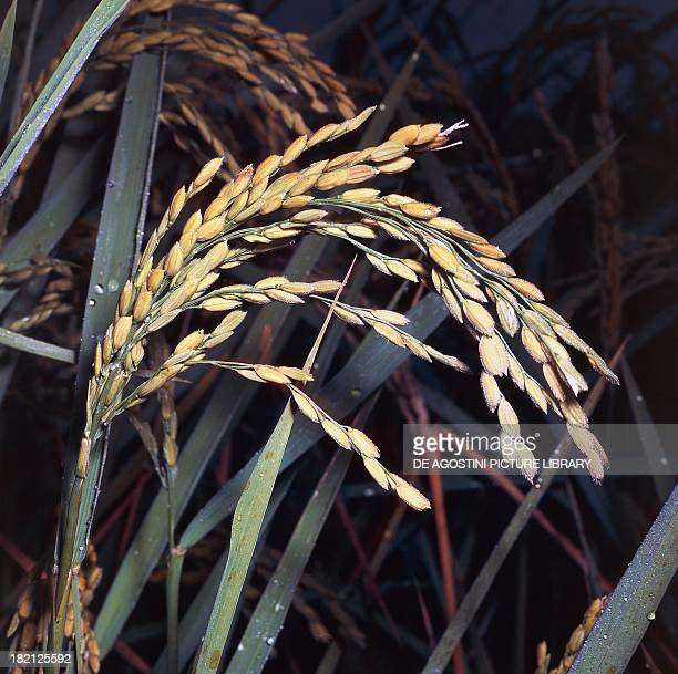 Ears of Asian Rice Gramineae
