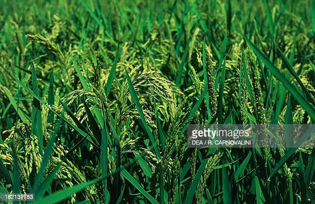 Ears of Asian Rice Gramineae Valle del Ticino Nature Park of Lombardy Lombardy Italy