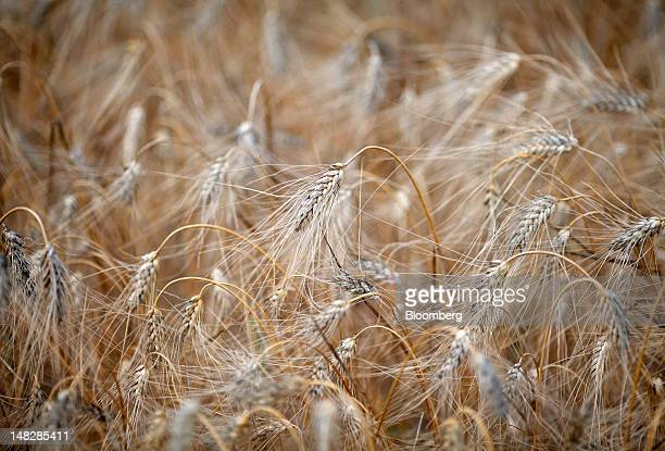 Ears of hard wheat stand in a field before harvesting at a farm near Rome Italy on Friday July 13 2012 Barclays Plc raised its forecast for average...