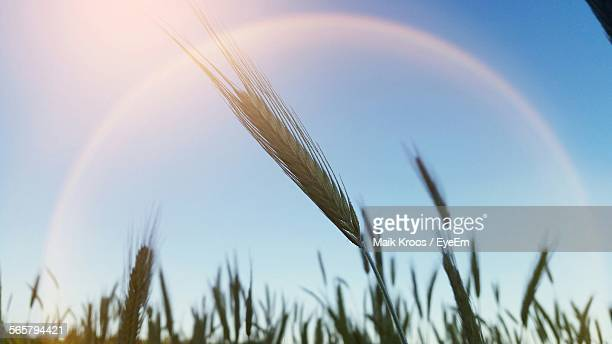 Ears Of Wheat Against Sky