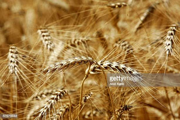 Ears of wheat stand in a field at Mesbeh farm during the annual harvest May 24 2005 near the Israeli settlement of Kfar Darom in the Deir AlBalah...