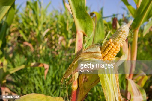 Ears of young corn in field : Stock Photo