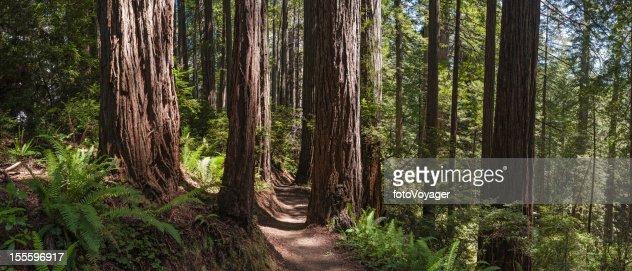 「アース amp \;;トレイルから巨大なレッドウッド森林