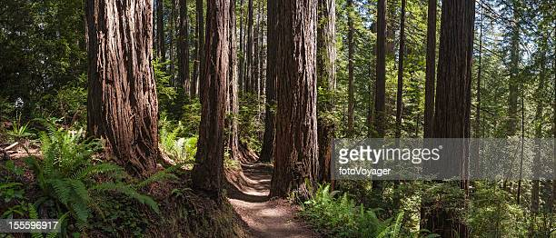 Earth trail through giant Redwood forest