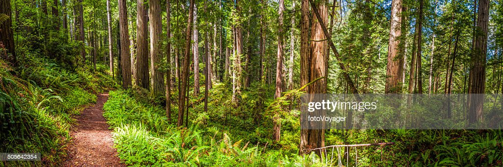 Earth trail through idyllic Sequoia grove Redwood NP forest California