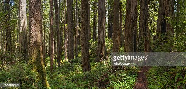 Earth trail through unspoilt Redwood Sequoia forest wilderness