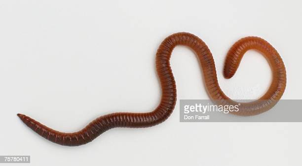 Earthworm (lubricous terrestris) on white background, overhead view