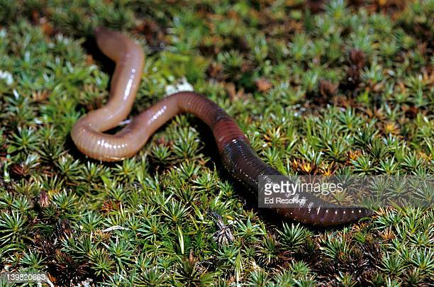 Earthworm. Segmented worm or annelid. Lumbricus terrestris. Clitellum & other structures e.g. setae.