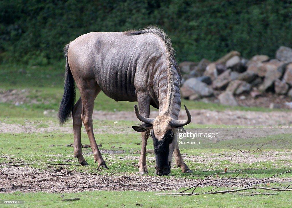 East African White Bearded Wildebeest
