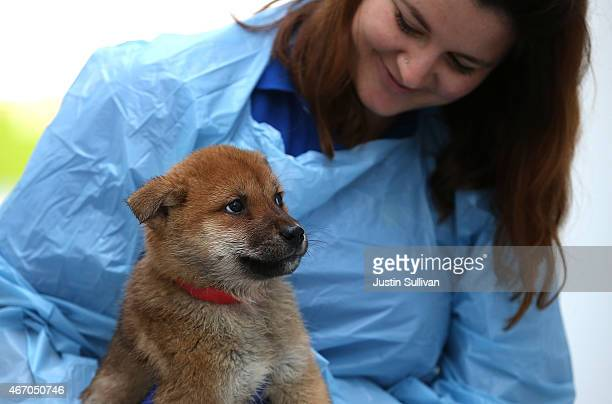 East Bay SPCA worker Holly Smith holds a dog that was rescued from a South Korean dog meat farm at the San Francisco the San Francisco Society for...