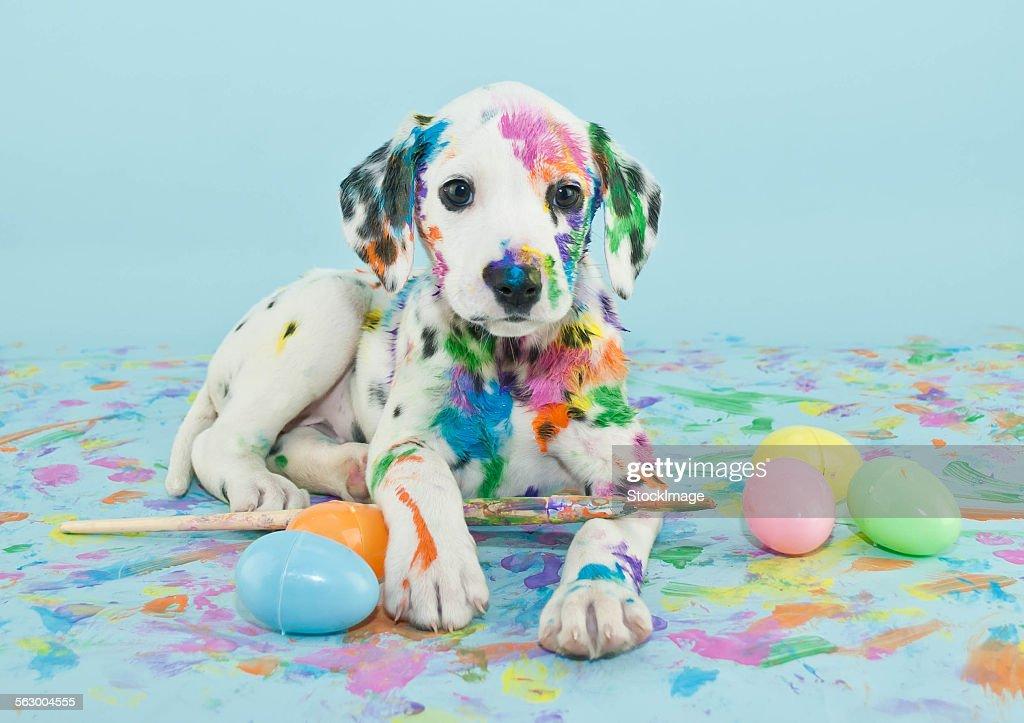 Easter Dalmatain puppy : Stock Photo