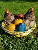 Nice easter decoration with colored eggs in a box with chicken