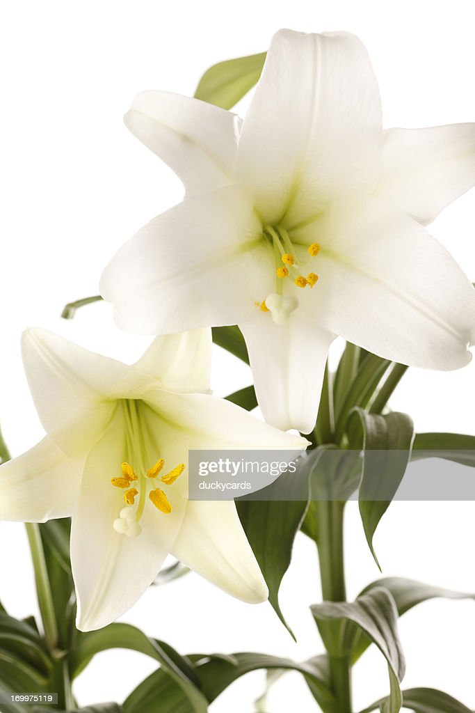 <b>Easter Lily</b> Isolated Stock Footage Video | Shutterstock