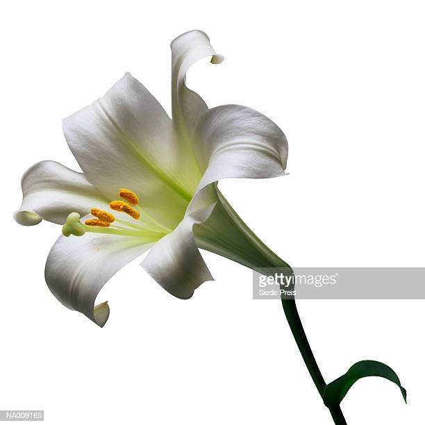 Easter Lily Blossom