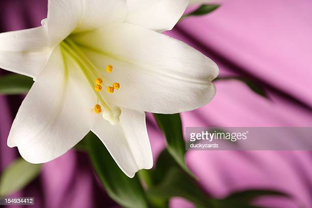 Easter Lily Blossom with Purple Background