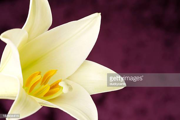 Easter Lily Close-Up with Purple Copyspace
