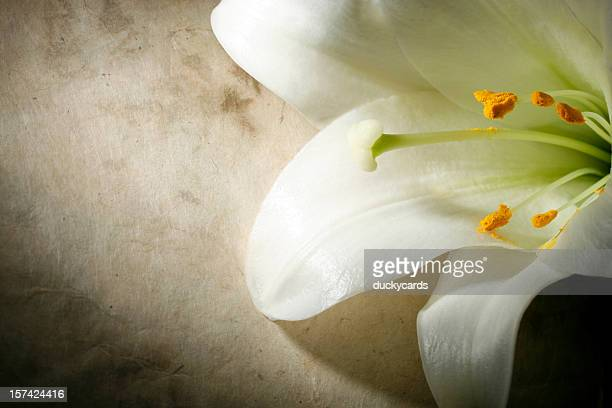 Easter Lily on a Grunge Background