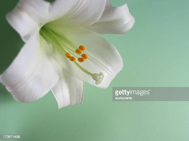 Easter Lily on Green