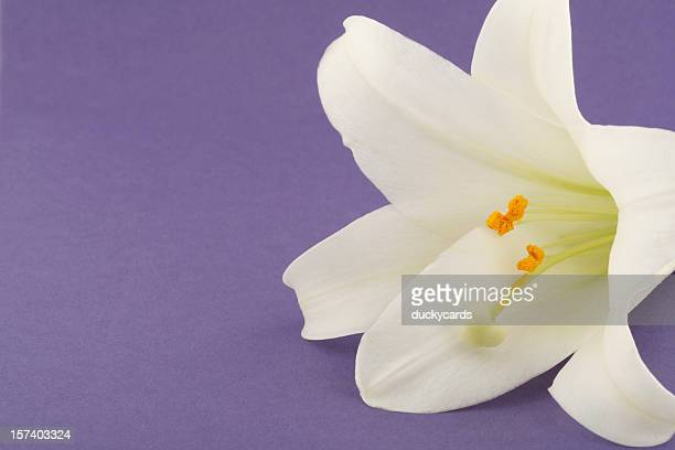 Easter Lily on Lavender Background