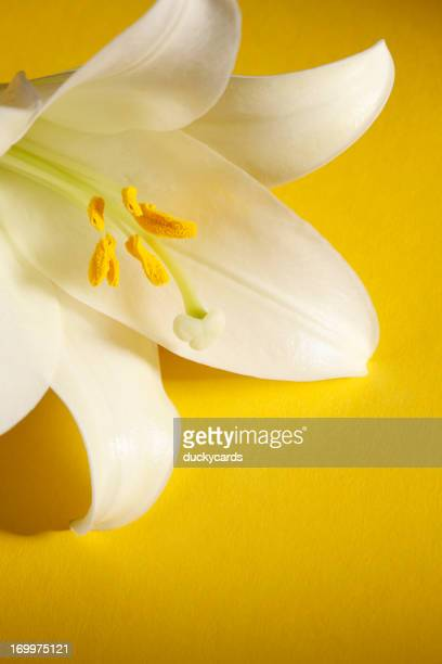 Easter Lily on Yellow Background
