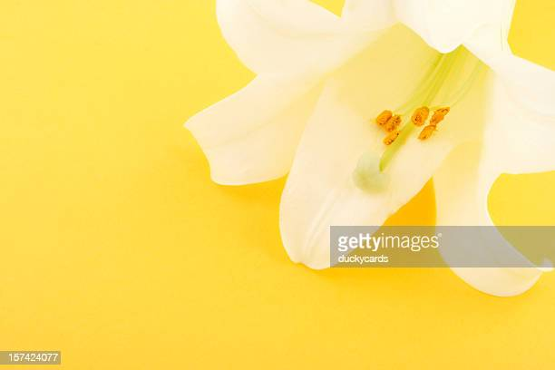 Easter Lily with Copyspace