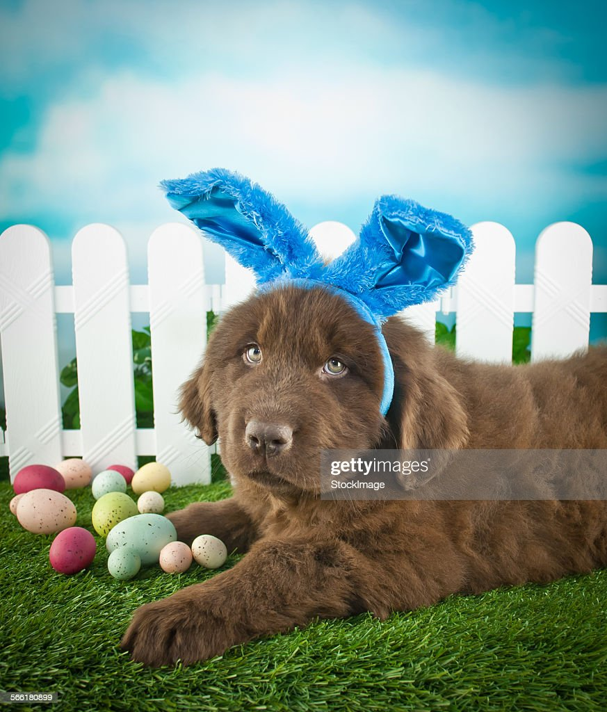 when dogs think they u0027re the easter bunny photo album getty images