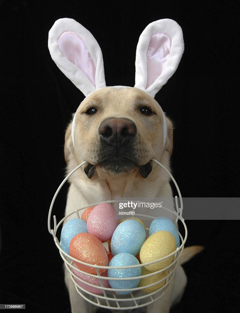 Yellow labrador retriever in bunny ears with a basket of eggs against a black background. Focus on eyes and ears. Click photo below to see all pictures of Tucker the lab.