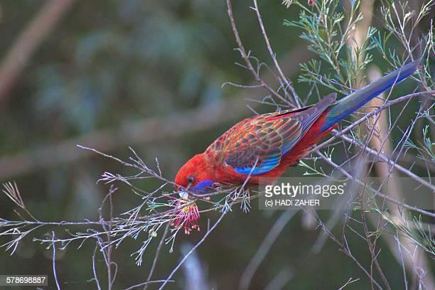 Easter rosella feeding on nectar
