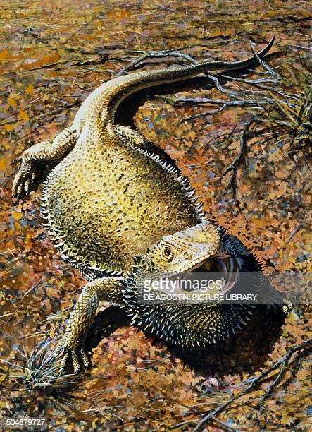 Eastern bearded Dragon Agamidae drawing