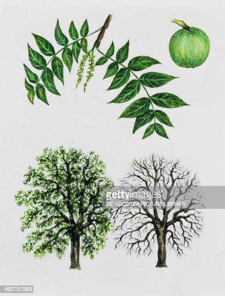 Black Walnut Trees Without Leaves 109