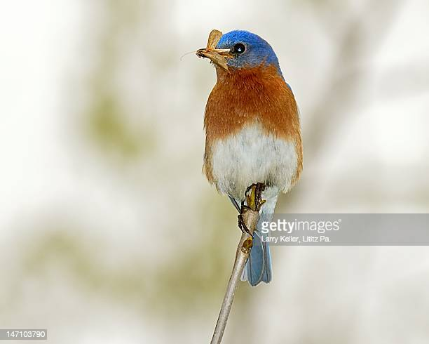 Eastern Bluebird with insects in his bill