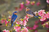 """Eastern Bluebirds, male and female, perched on a flowering branch in spring"""