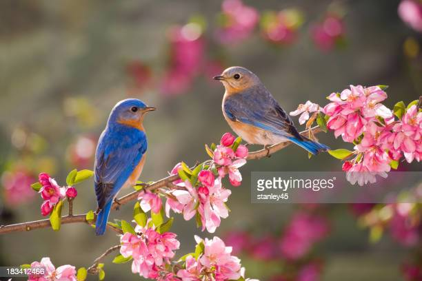 Eastern Bluebirds, machos e fêmeas