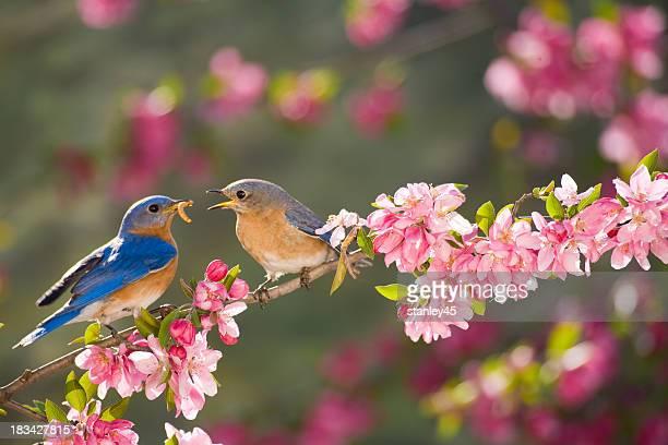 Eastern Bluebirds, male feeding the female