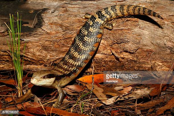 Eastern bluetongue lizard Tiliqua scincoides climbing down a log Blue Mountains New South Wales Australia