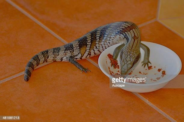 Eastern bluetongue lizard Tiliqua scincoides stealing cat food Wauchope New South Wales Australia