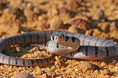 An Eastern Brown Snake South of Sydney Australia