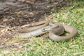 Eastern Brown snake (Pseudonaja Textilis) which is a native species in Australia and the second most deadly snake in the world