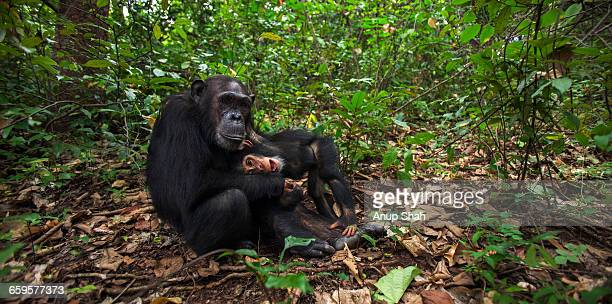 Eastern chimpanzee female Gaia playing with Google