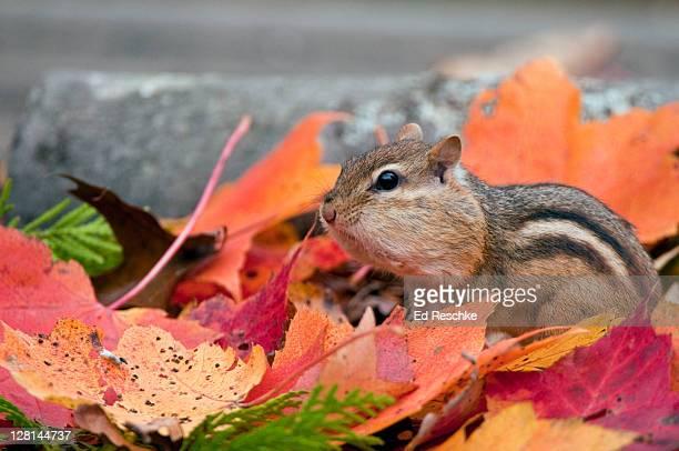 Eastern Chipmunk (Tamias striatus) and autumn leaves, cheeks bulging with seeds Michigan, USA