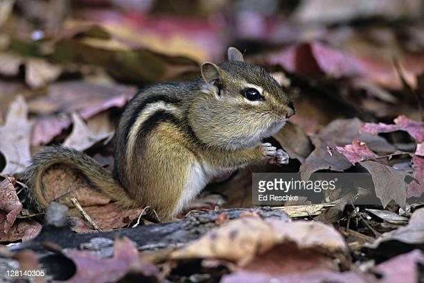 Eastern Chipmunk, Tamias striatus, eating with bulging cheeks, Michigan, USA