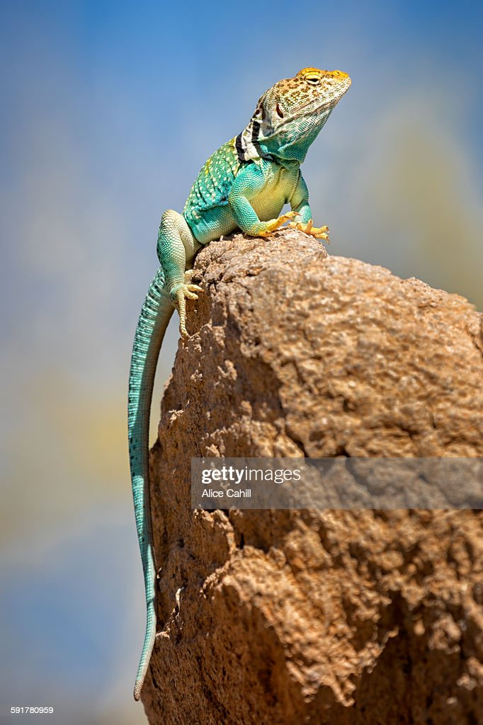 Eastern collared lizard sitting on top of a rock