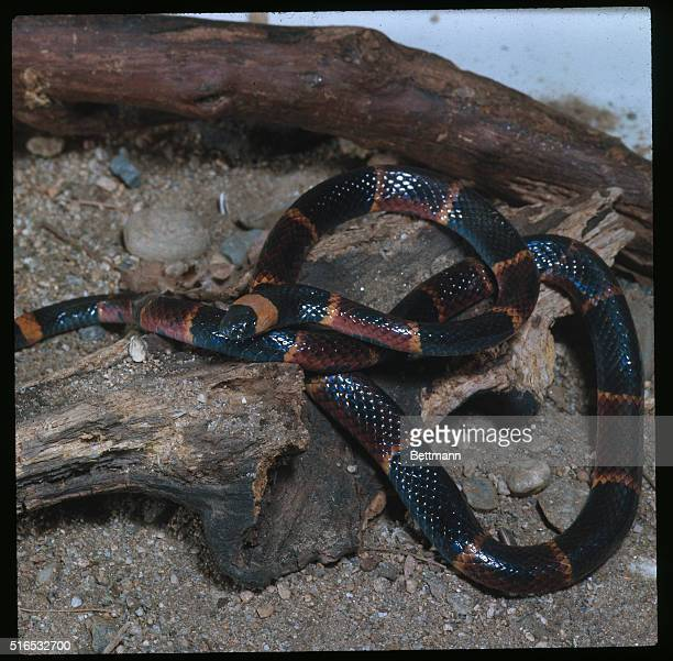 Coral Snake Stock Photos And Pictures