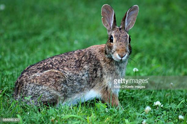 Eastern cottontail in the grass