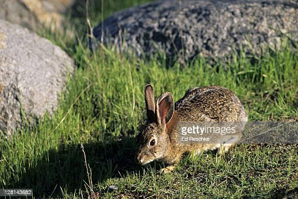 Eastern Cottontail Rabbit, Sylvilagus floridanus, Michigan, USA