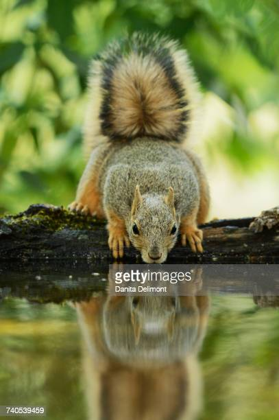 Eastern Fox Squirrel (Sciurus Niger) drinking, Hill Country, Texas, USA