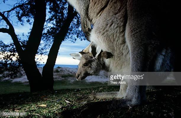 Eastern gray kangaroo (Macropus giganteus) with joey in pouch