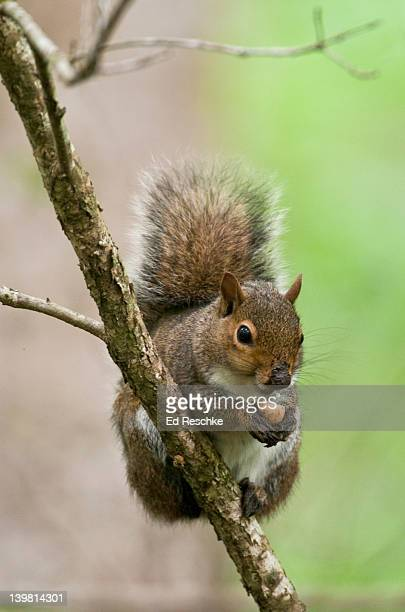 Eastern Gray Squirrel (Sciurus carolinensis) eating a nut. Audubon Sanctuary, The Fransis Beidler Forest in Four Holes Swamp, South Carolina, USA